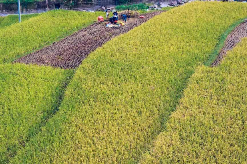 Ngỡ ngàng vẻ đẹp ruộng bậc thang Hoàng Su Phì mùa lúa chín - 9